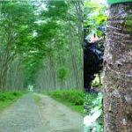 Training Agribisnis Tanaman Sengon